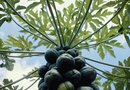 How to Know When a Papaya on a Tree Is Ready to Be Picked