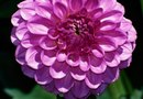 How Long Do Dahlias Take to Bloom?