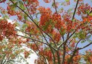 Information on Tropical Flamboyant Tree Seeds