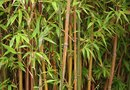How to Propagate Cold Hardy Bamboo