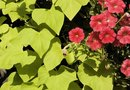 How to Fertilize Ornamental Sweet Potato Vines
