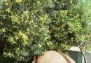 How to Grow Arbequina Olives