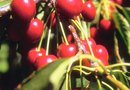 Cherry Tree Diseases & Cures