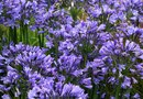 Which Plants Look Good with an Agapanthus?