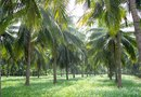 How Long Does It Take for a Coconut Tree to Get Coconuts?