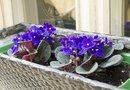 Do African Violets Like to Be Crowded?