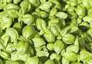 Can You Use a White Vinegar & Water Mix for Insects on Basil Plants?