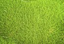 Weed Killers for Zoysia 'Palisades'