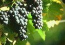 How to Treat Grapevines in the Dormant Season