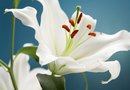 Ideas on What to Grow in the Garden With Casa Blanca Lilies
