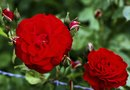 How to Grow Carnations in Pots