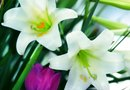 How to Plant Easter Lilies After the Flowers Are Gone