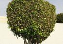 How to Trim Large Bushes Into Small Trees