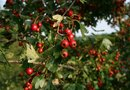 When Should You Move a Cherry Tree to a New Location?