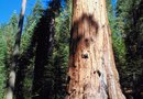 Can Saltwater Kill Redwood Trees?