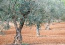 Olive Tree Growth Rates