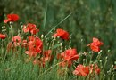 Is it Legal to Grow Poppy Flowers?