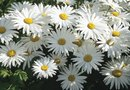 How to Plant Shasta Daisy Cuttings