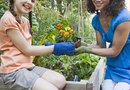 How to Plant Marigolds From Deadheaded Blossoms