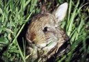 Can Cottontail Rabbits Be Used for Weed Control in a Lawn?