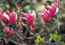 How to Prune the Tulip Magnolia