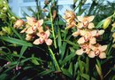 How to Plant Cymbidium