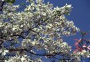Where to Plant Miniature Dogwood Trees