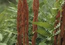 Are Bird's Nest Ferns Inside or Outside Plants?