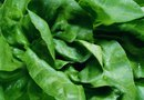 How to Grow Butter Leaf Lettuce