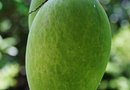 How to Treat Bugs on a Mango Tree