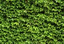 How to Remove English Ivy Roots From Block Walls