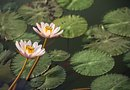 Difference in the Water Lily & the Lotus