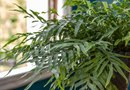 How to Care for an Asparagus Fern