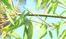 How to Maintain Bamboo Plants