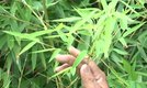 How to Grow a Bamboo Fence