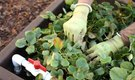 How to Clean Up a Strawberry Patch