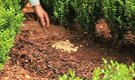 How to Mulch Shrubs