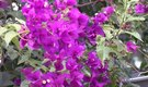 How to Transplant Bougainvillea Flowers