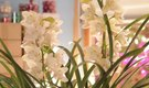 Cybidium Orchid Care