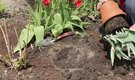 How to Transplant Tulips From Pot to Flower Bed