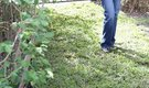 How to Lay Sod Over Tree Roots