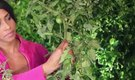 How to Deshoot a Tomato Plant