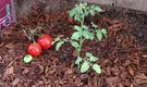 How to Plant Tomatoes in Pine Nuggets