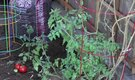 How to Grow Tomatoes in a Backyard