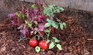 How to Plant Tomatoes With Lettuce