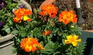 How to Propagate Marigold Seeds