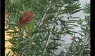 Bottlebrush Plant Care