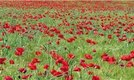 How to Grow Poppy (Papaver)