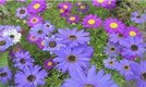 How to Grow the Swan River Daisy (Brachycome Iberidifolia)