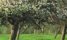 How to Prune Untrained Apple Trees